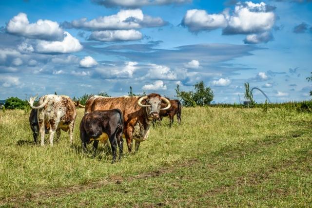 Cows Behind Harrow School